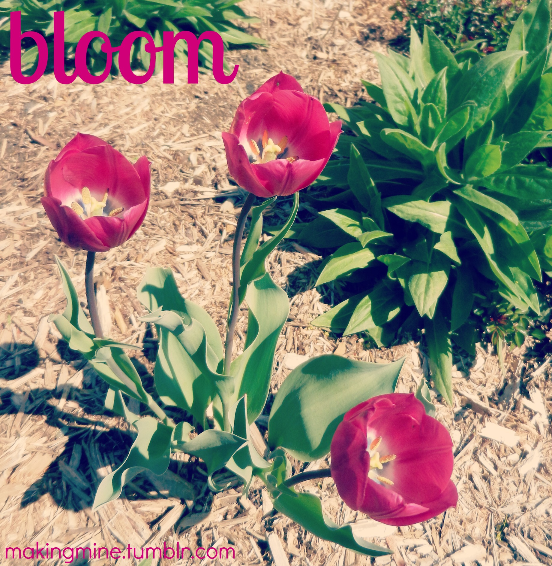 Tulips blooming in a spring garden
