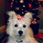 westie puppy under christmas tree